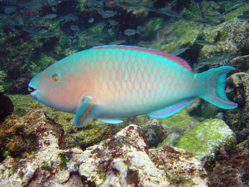 blue-chin parrot fish
