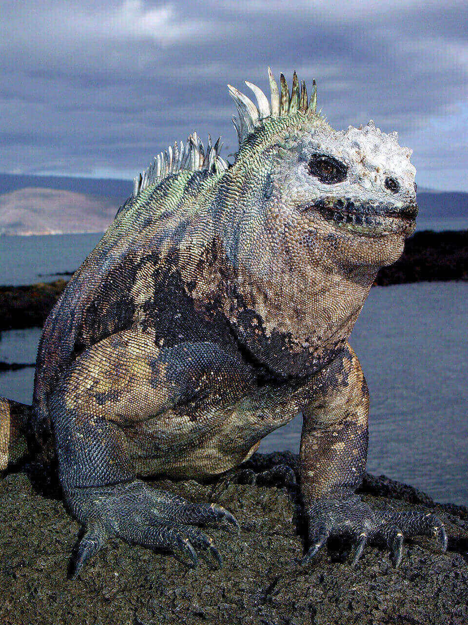 Marine iguana from the Galapagos islands