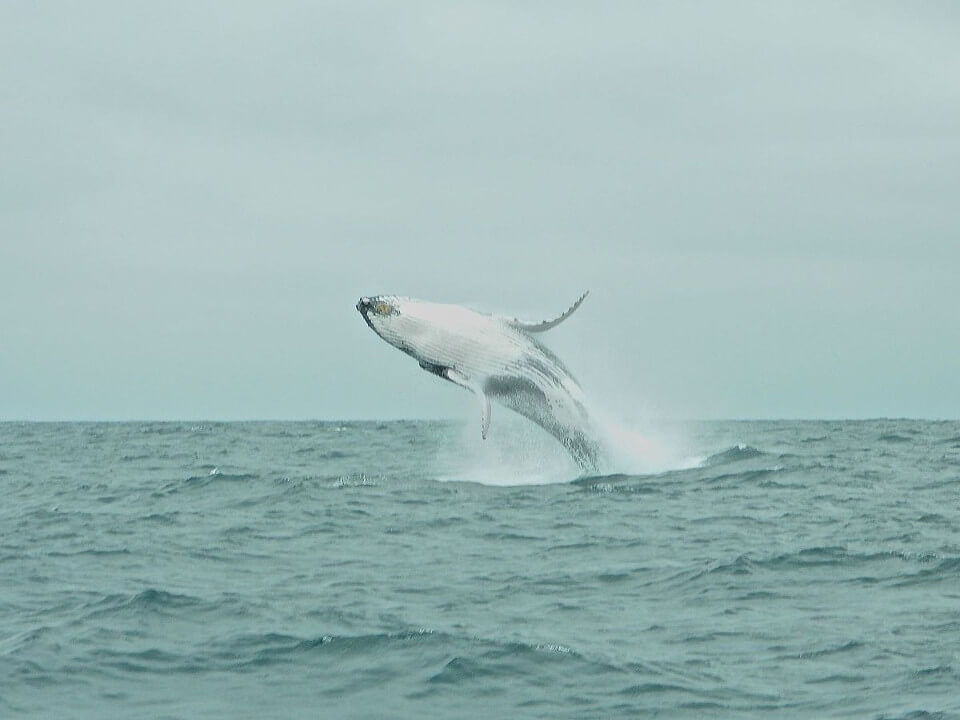 Humpback whale galapagos
