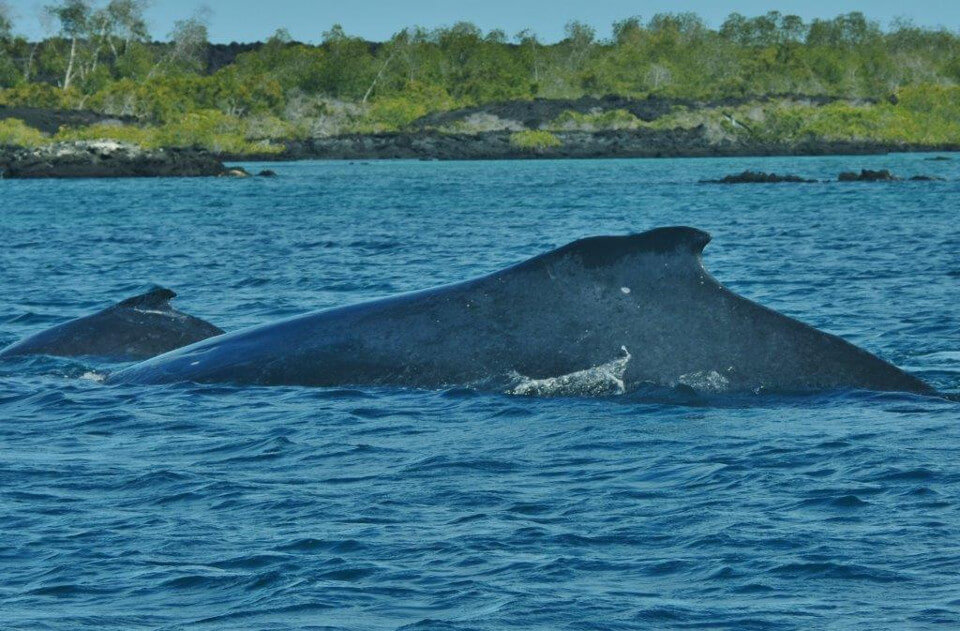 Mother humpbackwhale in Galapagos islands.