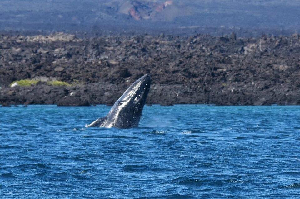 Galapagos Humpback calf