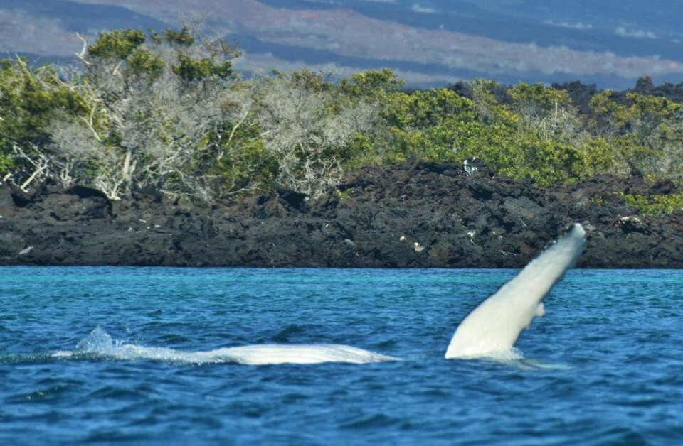 Humpback whale mother and its calf in the Galapagos islands.