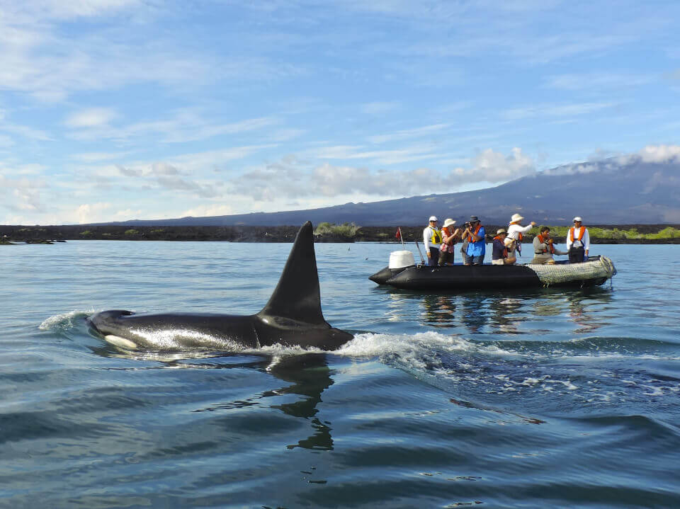Orca floating through the Galapagos islands