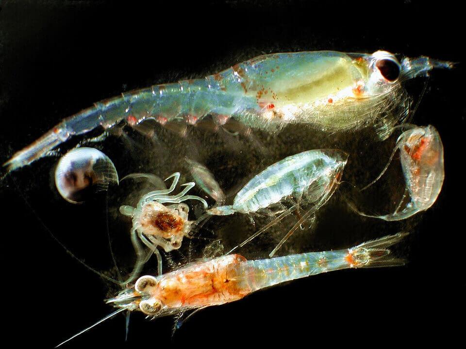 Zooplankton Galapagos islands