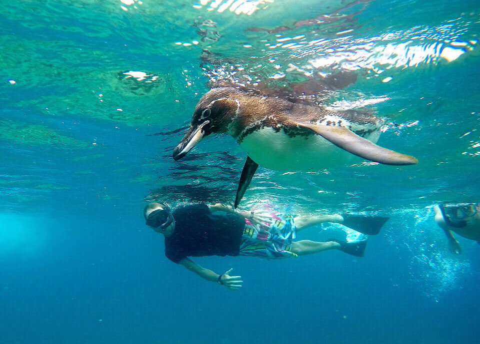 snorkelling galapagos penguins