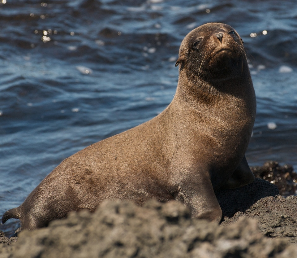 Mating season: Galapagos fur sea lion