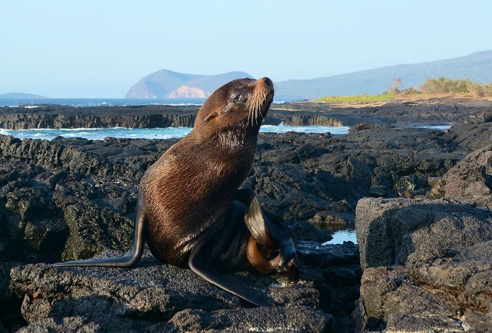Fur sea lion