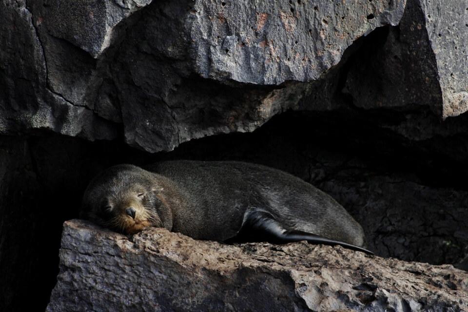 Fur sea lion resting