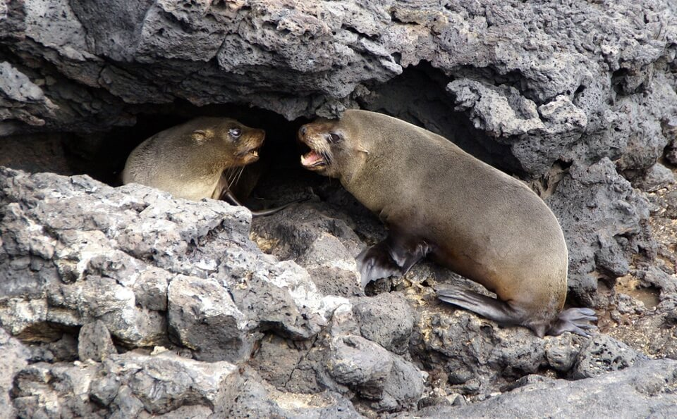 Mating season: Fur sea lions