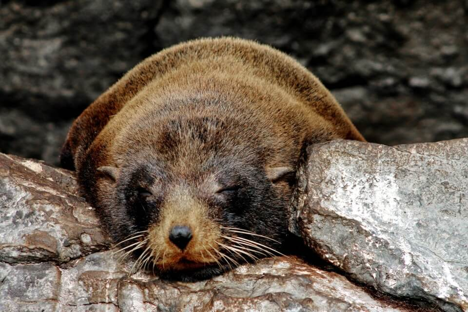 Fur sea lion sleeping
