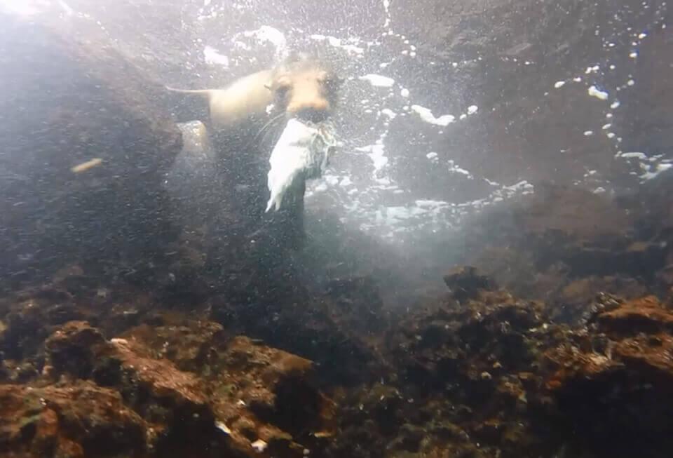 Playful sea lion at Gardner Bay