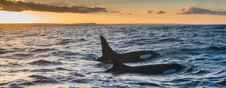 Large pod of orcas in the Galapagos