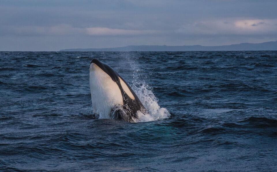 orca galapagos islands