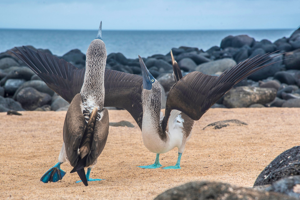 Blue footed boobies courtship dance