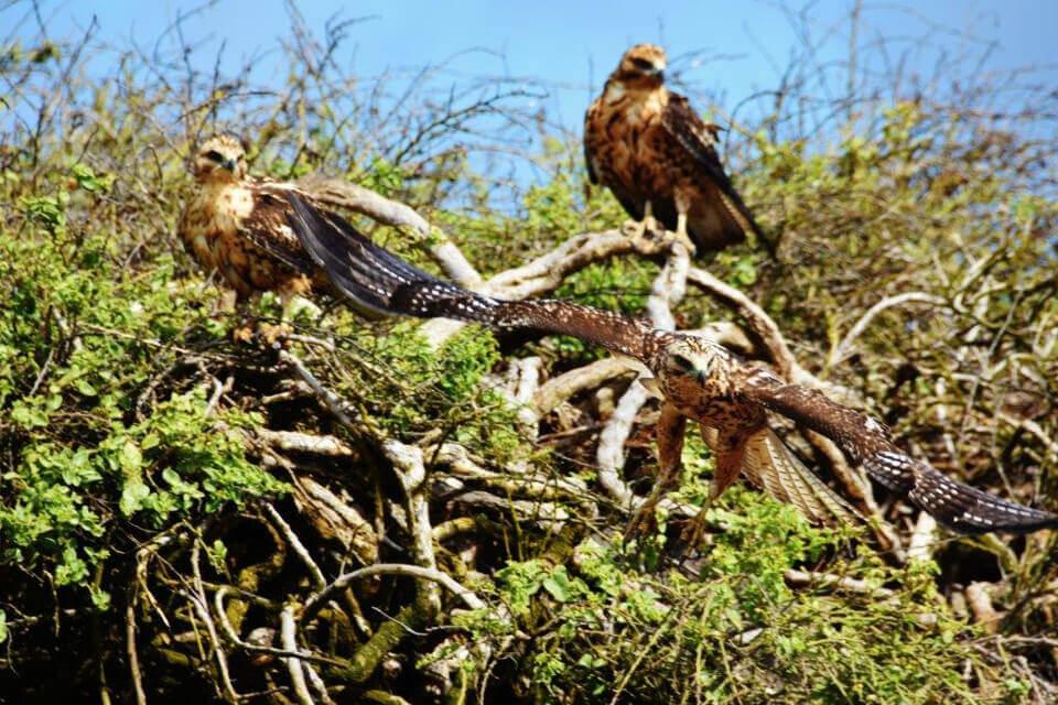galapagos hawks trees