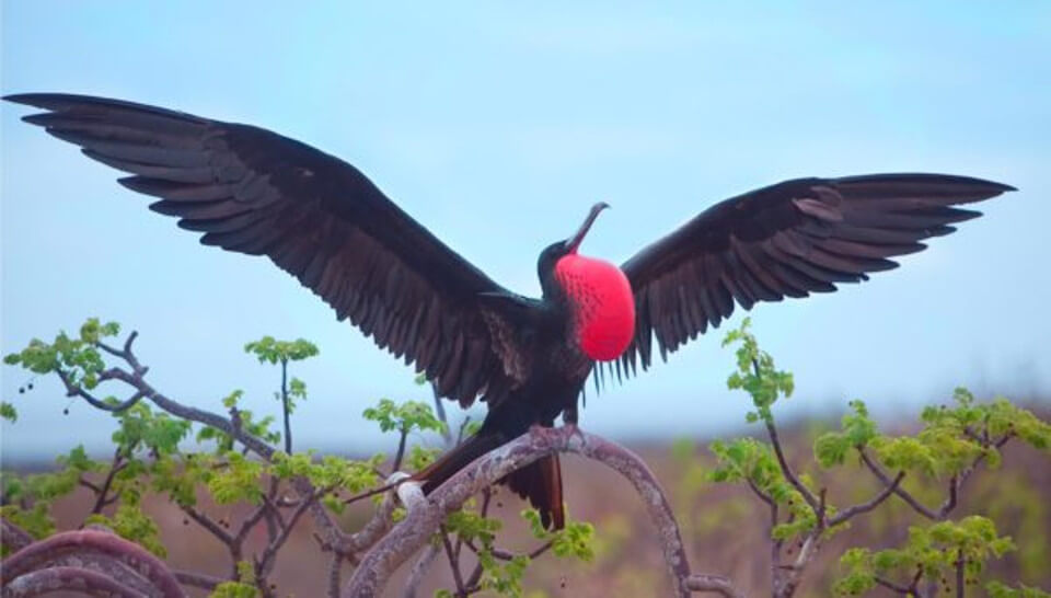 Male Frigate bird from the Galapagos islands