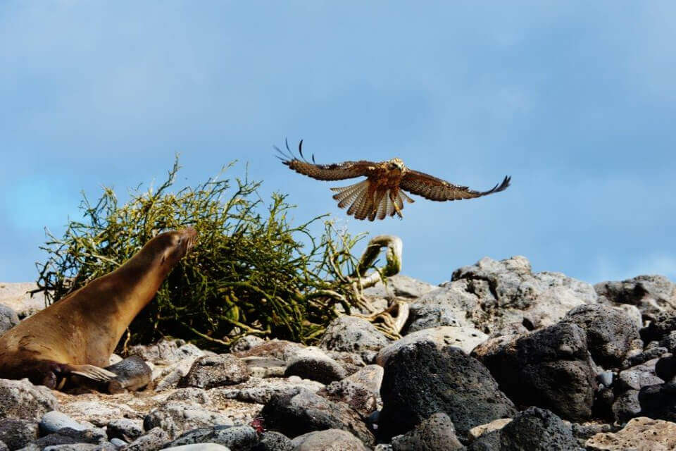 mother sea lion vs. hawks galapagos wow