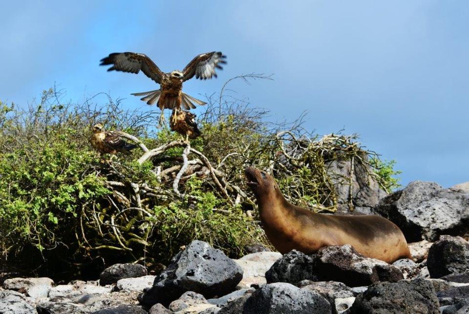 Sea lion figths off hawks