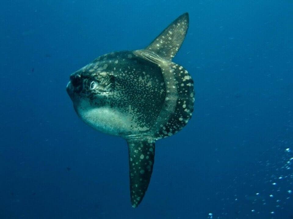 Mola Mola fish in the Galapagos islands