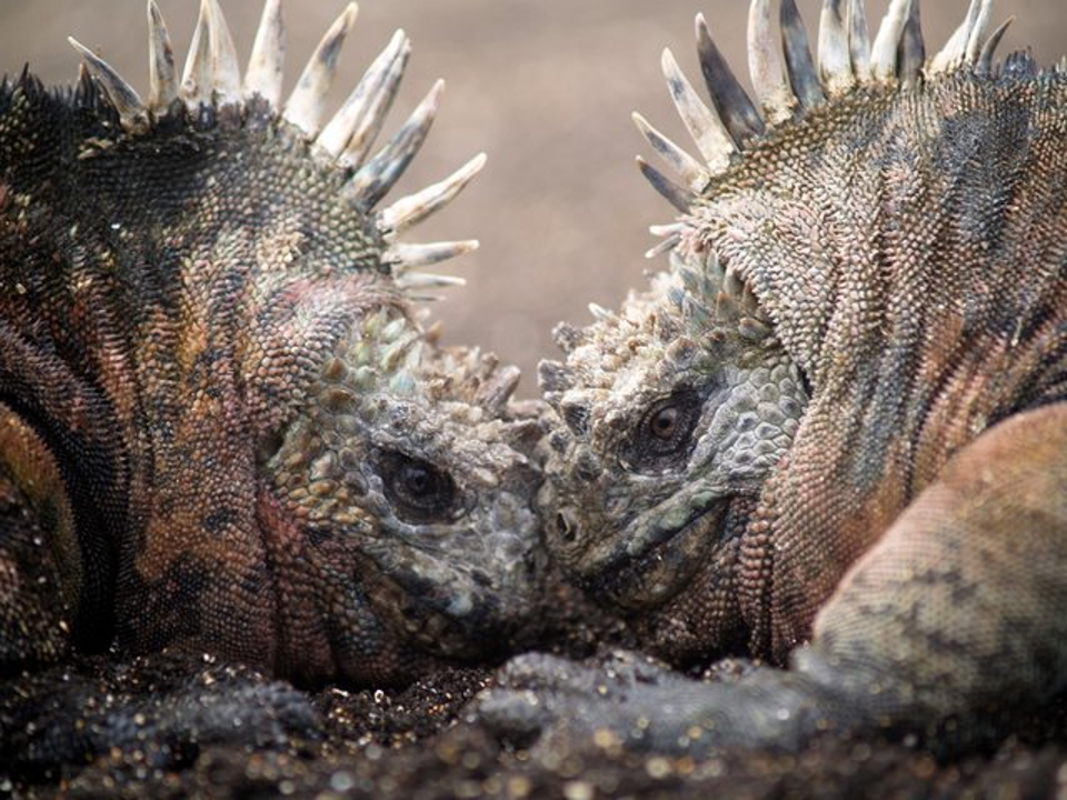 Duel of marine iguanas
