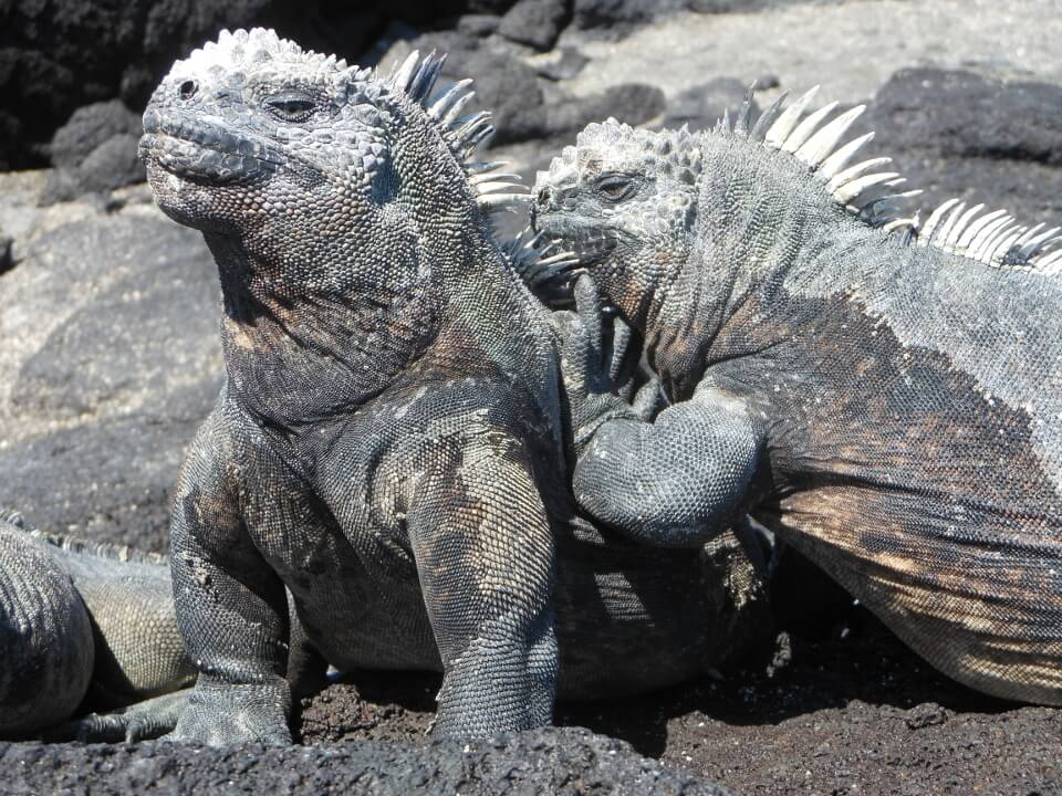 marine iguana mating season couple