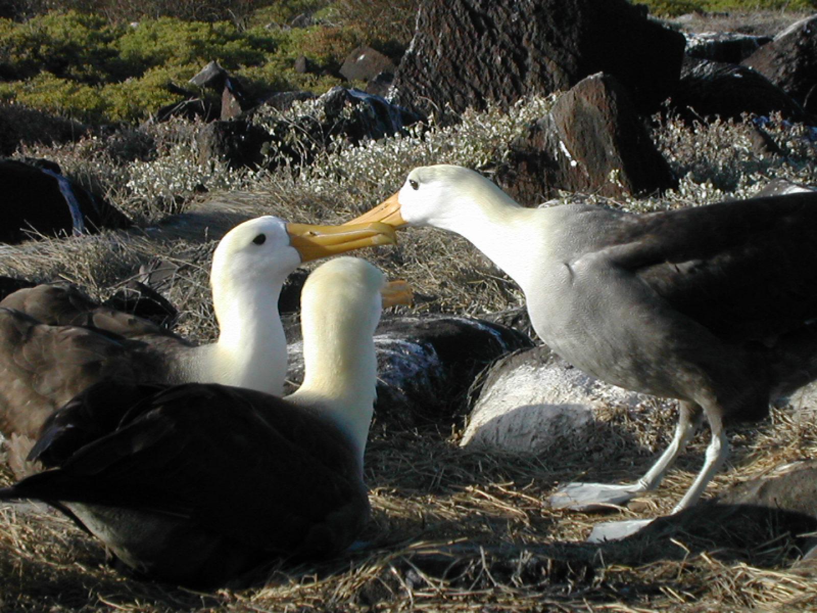 Galapagos islands albatross