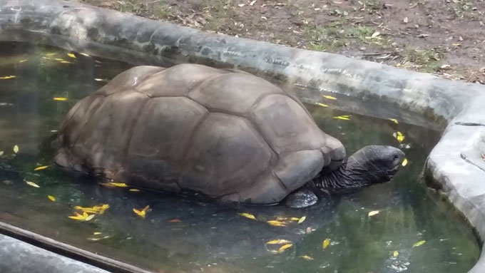 Aldabra tortoise in the Galapagos