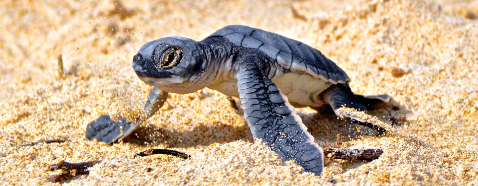 Galapagos green sea turtle hatching