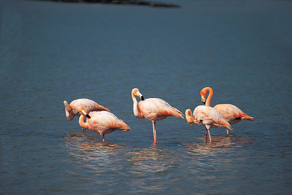 Flamingos courtship group in the Galapagos