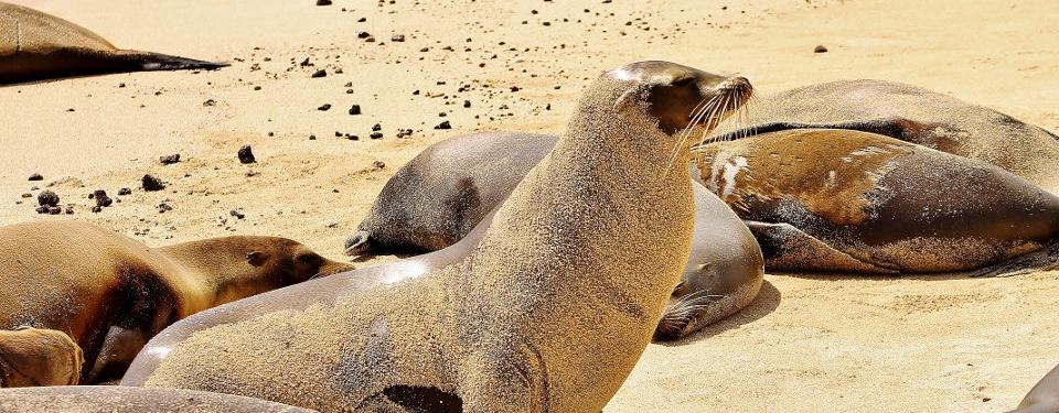 Galapagos Fur Seal or Sea Lion