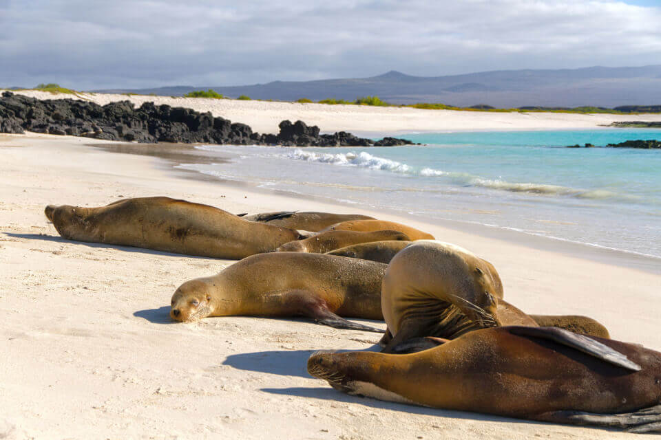 Galapagos sea lions resting on the beach