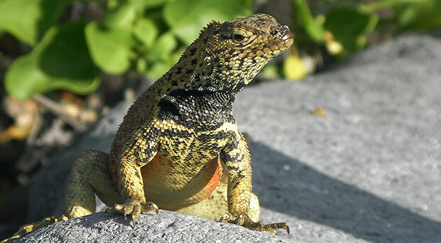 Galapagos iconic species: lava lizard