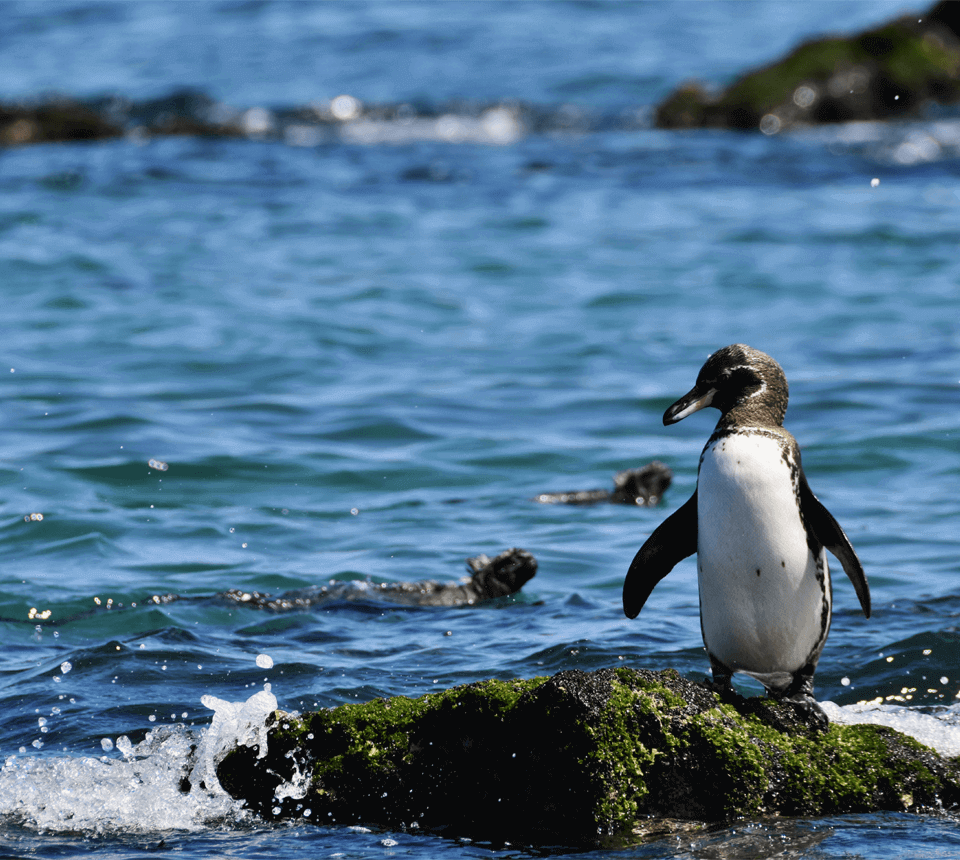 Northern Galapagos islands penguin