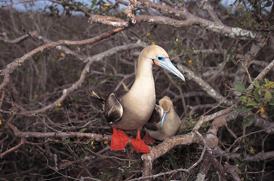 Galapagos red-footed boobies