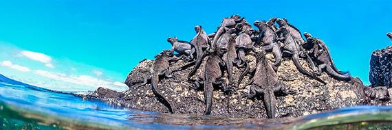 Marine iguanas resting on rocks