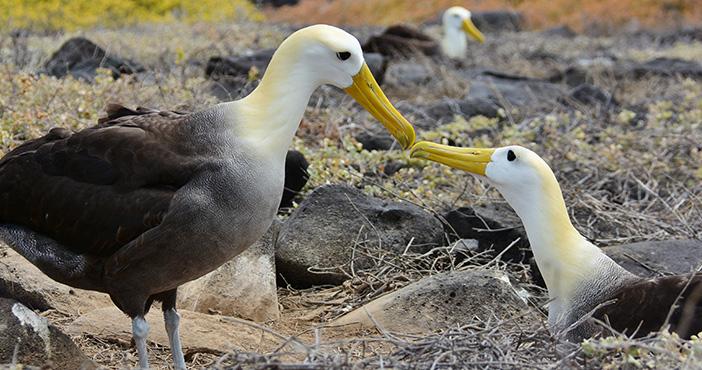 Galapagos tours itineraries: albatross