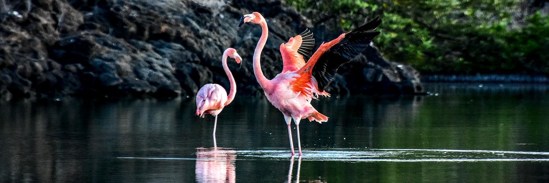 Galapagos birds: american flamingo