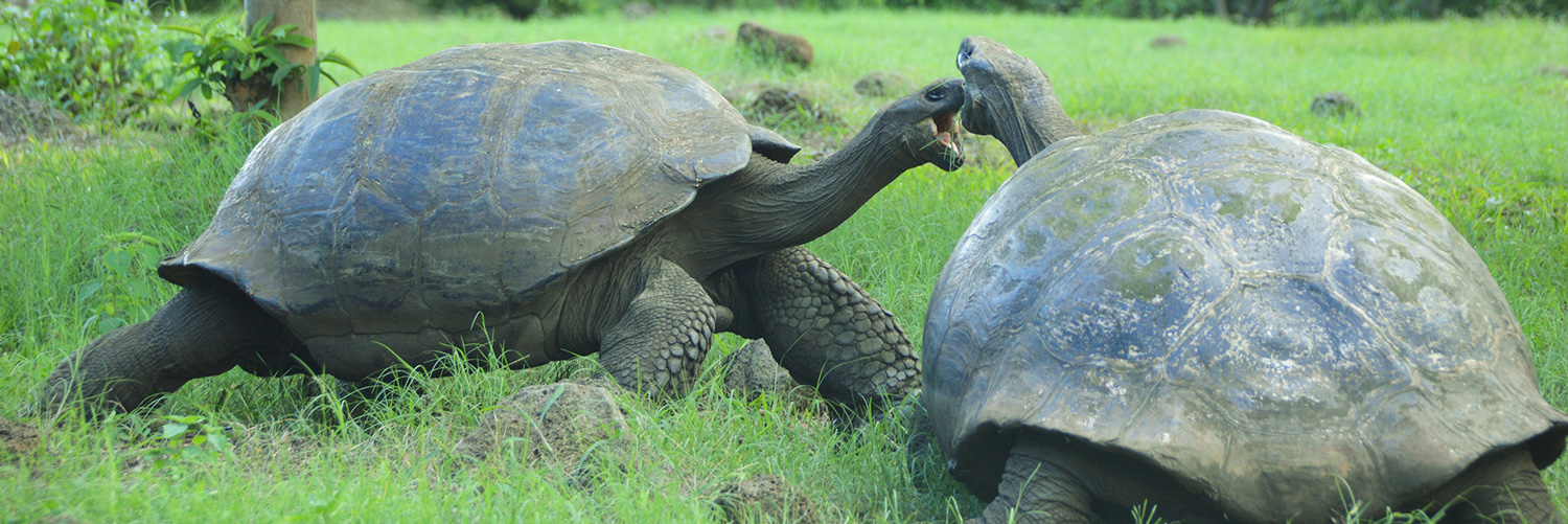 Galapagos animals: giant tortoises