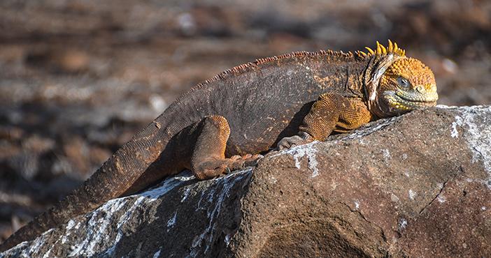 Galapagos animals: land iguana