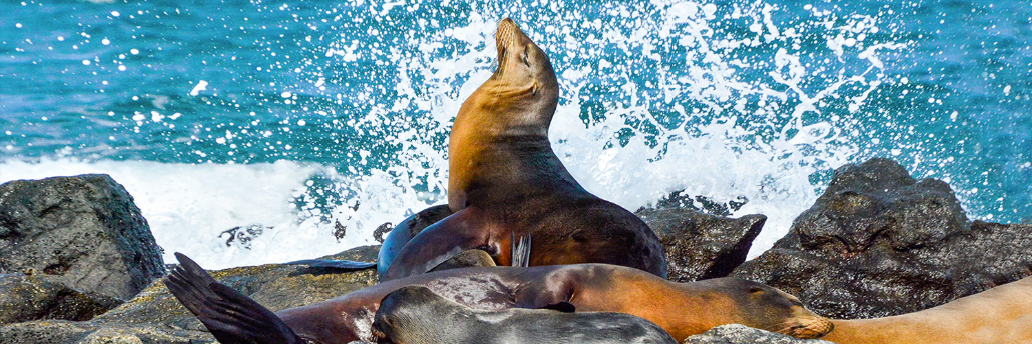 Galapagos animals: sea lions