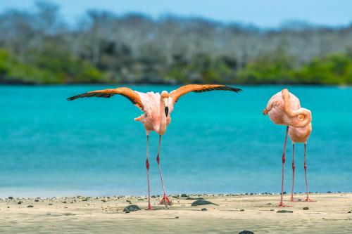 American Flamingos at Floreana Island in Galapagos