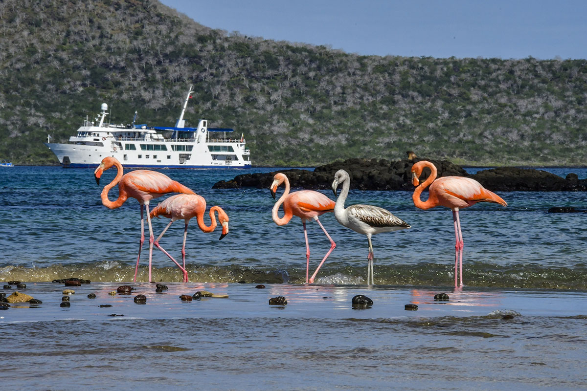 American flamingos in the Galapagos Islands