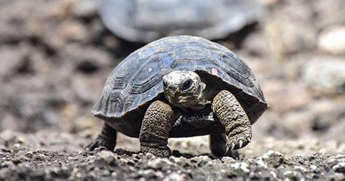 Baby Galapagos giant tortoise