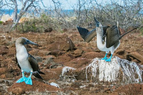Blue footed boobies at North Seymour in Galapagos